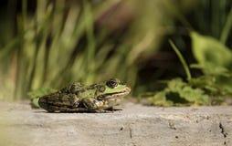 Зеленый лягушка-бык на крае пруда Стоковые Фотографии RF