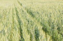 Зеленый ячмень растя в поле Стоковое фото RF