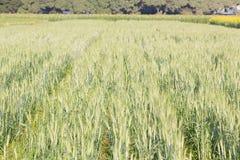 Зеленый ячмень растя в поле Стоковое Изображение