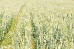 Зеленый ячмень растя в поле Стоковые Изображения RF