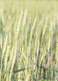 Зеленый ячмень растя в поле Стоковое Изображение RF