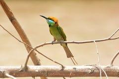 Зеленый Bee-eater зеленый цвет едока пчелы немногая Стоковое фото RF
