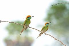 Зеленый Bee-eater зеленый цвет едока пчелы немногая Стоковое Фото