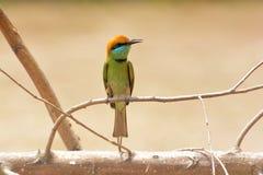 Зеленый Bee-eater зеленый цвет едока пчелы немногая Стоковые Изображения RF