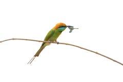Зеленый Bee-eater зеленый цвет едока пчелы немногая Стоковое Изображение RF