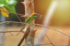 Зеленый Bee-eater зеленый цвет едока пчелы немногая Стоковая Фотография RF