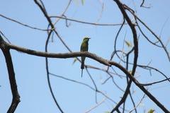 Зеленый Bee-eater Стоковое фото RF