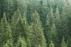 Зеленый coniferous лес с старыми спрусом, елью и соснами Стоковое фото RF