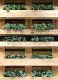 Зеленый creeper на деревянном nummularia Variegata Dischidia полки Стоковая Фотография