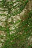 Зеленый Creeper стоковое изображение rf