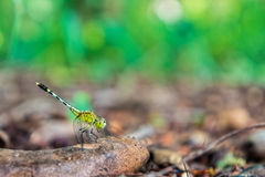 Зеленый dragonfly держа дальше ветвь дерева в лесе Стоковое Изображение RF