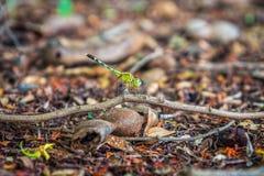 Зеленый dragonfly держа дальше ветвь дерева в лесе Стоковая Фотография RF