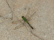 Зеленый Dragonfly на грубой каменной предпосылке Стоковое Изображение RF