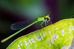 Зеленый dragonfly Стоковые Изображения RF