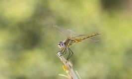 Зеленый Dragonfly Стоковое Изображение