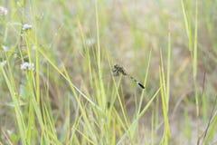 Зеленый Dragonfly стоковая фотография