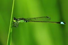 Зеленый Dragonfly Стоковые Фото