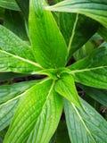 Зеленый echium Стоковые Изображения