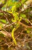 Зеленый gecko Стоковое Изображение RF
