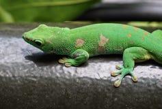 Зеленый gecko Стоковая Фотография RF