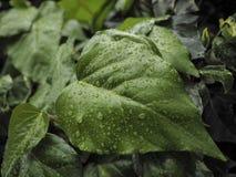 Зеленый Hedera плюща с лоснистыми листьями Стоковая Фотография RF