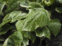Зеленый Hedera плюща с лоснистыми листьями Стоковое фото RF