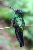 зеленый hummingbird Стоковое Изображение RF