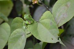 зеленый juvenile игуаны Стоковое Изображение RF
