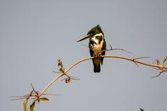 Зеленый Kingfisher на своем окуне Стоковые Фото