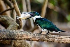 Зеленый Kingfisher с обедом в Pantanal Стоковые Фотографии RF