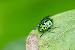Зеленый ladybug Стоковые Изображения