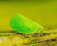 Зеленый leaf-hopper стоковая фотография rf