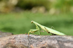 Зеленый mantis сидя на древесине Mantis Religiosa Стоковое фото RF
