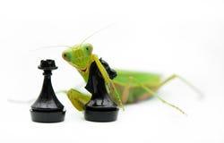 Зеленый mantis с шахматной фигурой черного рыцаря на белой предпосылке, Стоковое Изображение