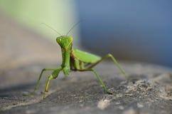 Зеленый mantis Стоковое фото RF