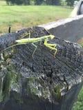 зеленый mantis Стоковые Изображения RF
