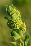 Зеленый Milkweed кометы - viridiflora Asclepias Стоковые Фото