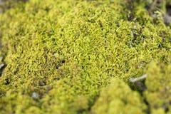 Зеленый mos Стоковые Фотографии RF