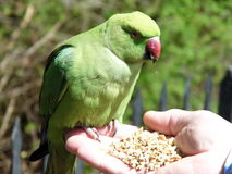 Зеленый necked длиннохвостый попугай Стоковые Изображения RF