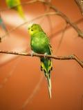 зеленый parakeet Стоковые Изображения RF