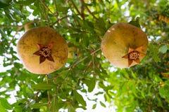 зеленый pomegranate Стоковое Изображение RF