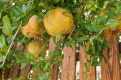 зеленый pomegranate Стоковая Фотография RF