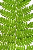 Зеленый sprig папоротника Стоковые Фото