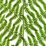 Зеленый sprig папоротника Стоковое Изображение