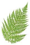 Зеленый sprig папоротника Стоковое фото RF