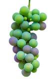 Зеленый sprig постепенно зрея голубые виноградины стоковая фотография