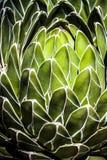 зеленый succulent Стоковое фото RF