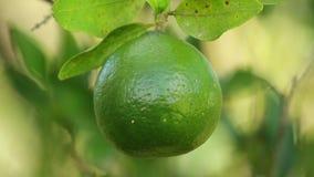 зеленый tangerine видеоматериал