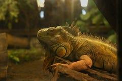 зеленый terrarium игуаны Стоковая Фотография