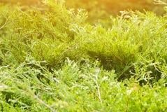 зеленый thuja Стоковые Изображения RF